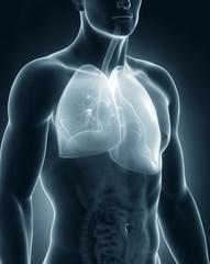 Male respiratory system anatomy