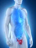 Male genitals anatomy anterior view