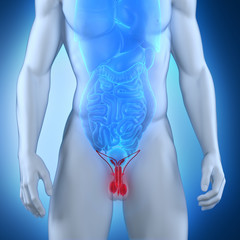 Male genitals anatomy