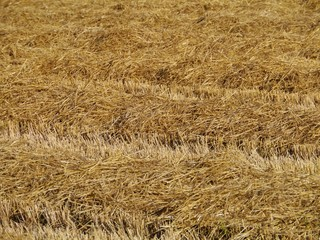 Drying straw on a field in summer