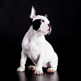 french bulldog on black background .