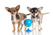 Funny puppy Chihuahua.  puppy with a  globe isolated