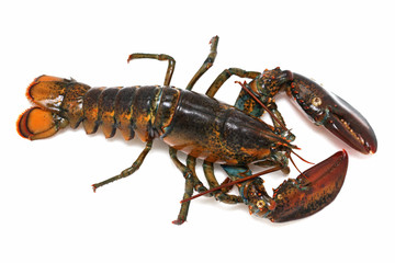 Alive lobster
