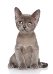 Burma kitten on white