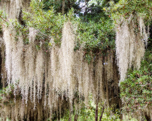 Close up of Spanish moss growing on tree
