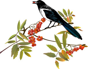 Magpie bird perching on a branch of ash tree