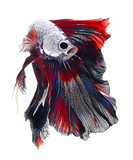 siamese fighting fish, betta isolated on white background