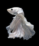siamese fighting fish, betta isolated on black
