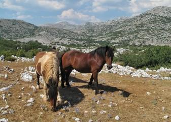horses on the pasture in Biokovo mountains in Croatia