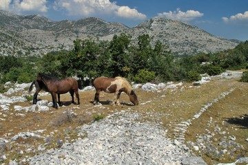 horses on the pasture in Biokovo mountains in Croatia