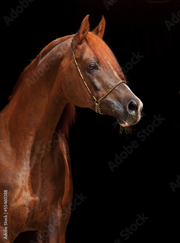 Beautiful arabian horse with nice show halter