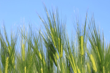 青空と小麦