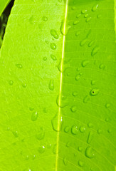 Water drops on leaves.