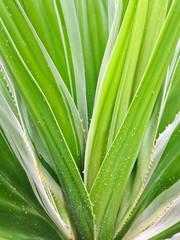 Spanish Dagger  Yucca constricta