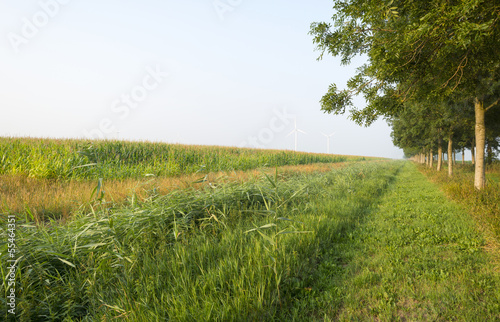 Corn growing on a field in summer