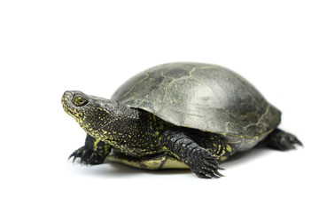 big-eared turtle on a white background