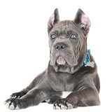 cane corso dog in a collar and a tag
