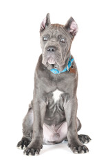 cane corso puppy in a collar and a tag