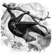 Bat - Chauve Souris - Pteropus Edulis - Roussette