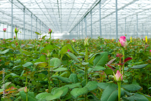 greenhouse with roses