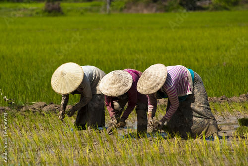 Rice Transplanting in Laos