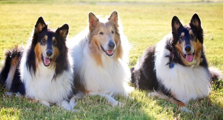 Trio of Collies