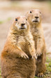 Close-up of prairie dogs (Cynomys)