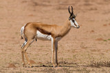 Springbok standing on a sand plain in the kalahari