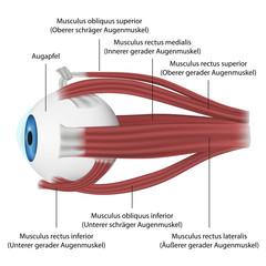 Die Muskeln des Auges