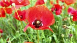 bee flies around the flower red poppy
