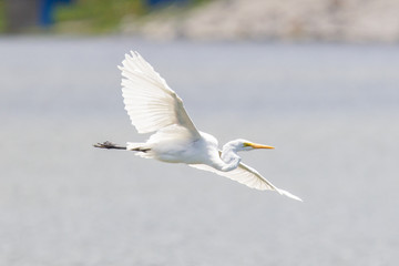 Great Egret (Ardea alba modesta), American subspecies