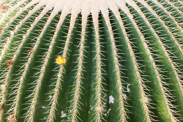 Closeup of a big barrel cactus in a botanical garden