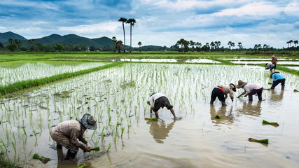time lapse farmer working plant rice in farm of Thailand