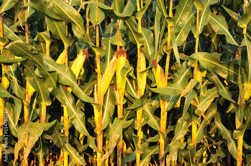 corn field background texture