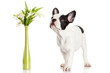 French bulldog  portrait on a white background.