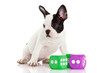 Cute French bulldog puppy on a white background