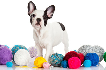 French Bulldog  puppy with a wool balls isolated on white backgr