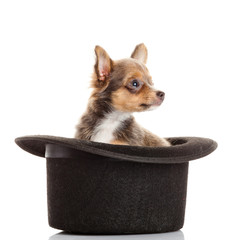 chihuahua puppy in a hat.