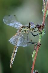 Sympetrum fonscolombii, femmina
