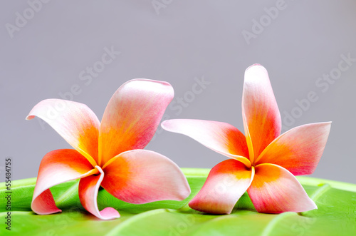 Plumeria flower on stone isolated