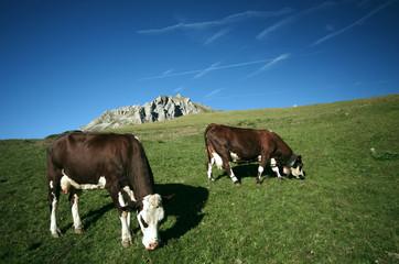 vaches à l'alpage - savoie