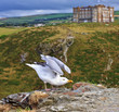 Seagull ready to fly with the background of Tintagel castle