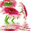 Piękne różowe gerbery na białym tle