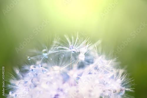 Foto op Plexiglas Paardebloemen en water Dandelion