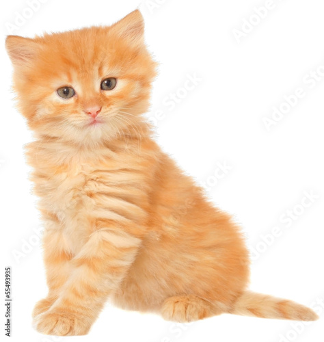 Orange kitten sitting isolated
