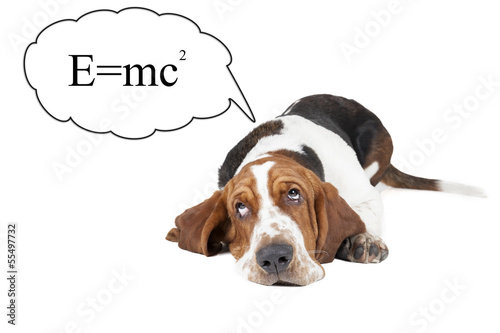 Basset hound thinks about the theory of relativity