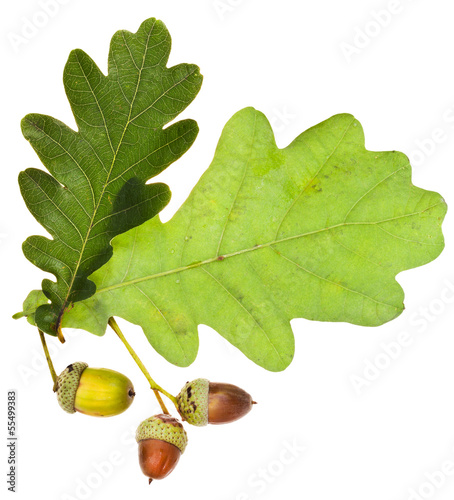 oak leaves and acorns isolated