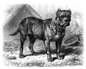 Bulldog - Molosse