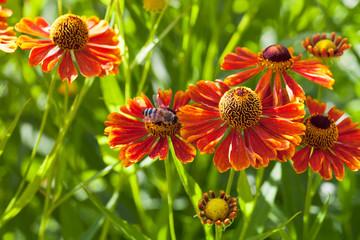 bee sips nectar from red gaillardia flower