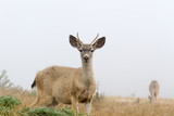 Young White-Tailed Deer in Fog
